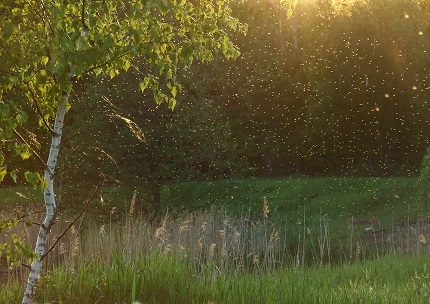 Swarm of midges over wet soil