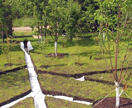 Koku stādīšana kanalizācijas tuvumā