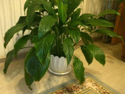 Vidējs iekštelpu augs
